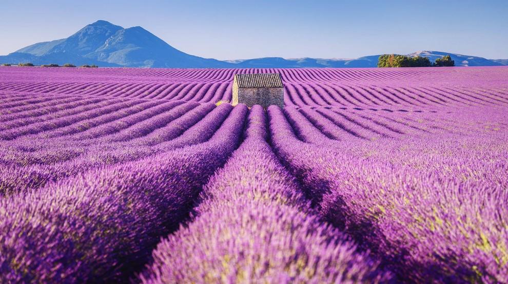 Лавандовые поля Франции в фотографиях
