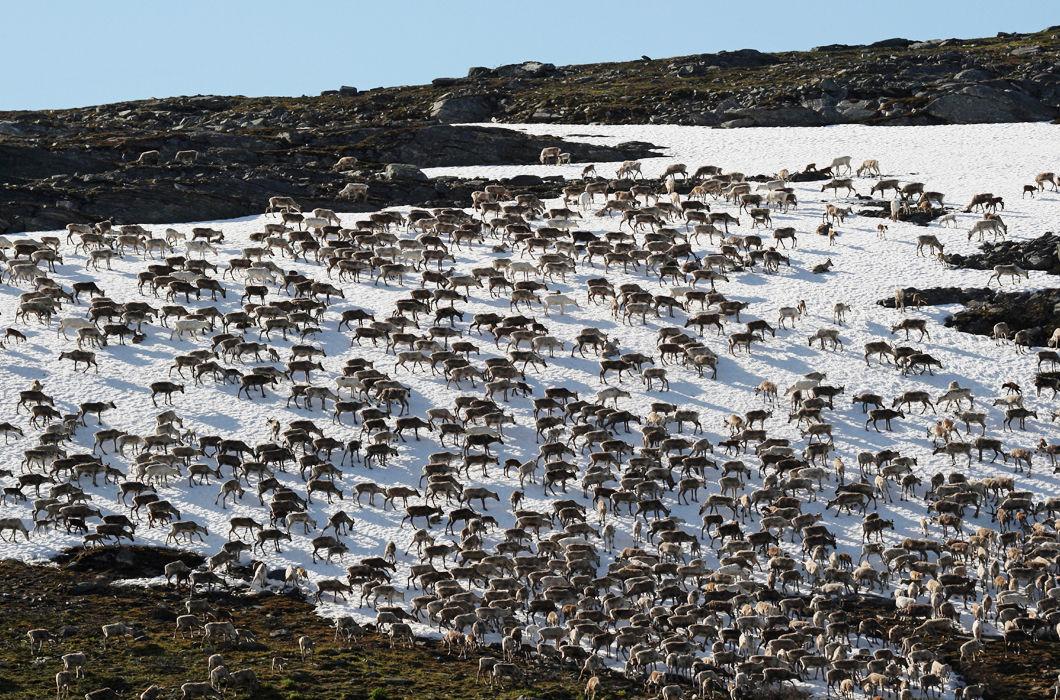 Животные, которые мигрируют группами