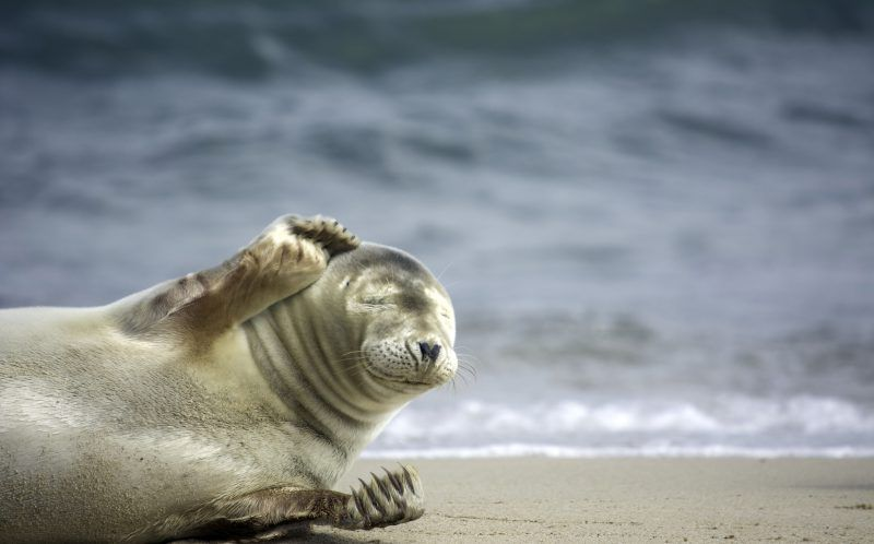 Морской котик стесняется фотографа и ее камеры