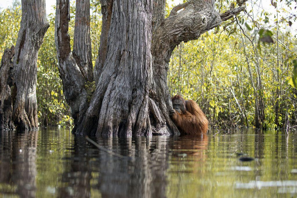 Орангутанг в реке