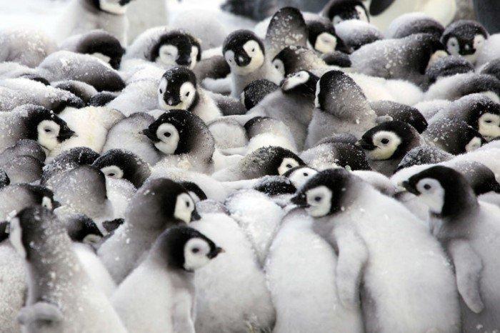 Как пингвины согревают своих пингвинят