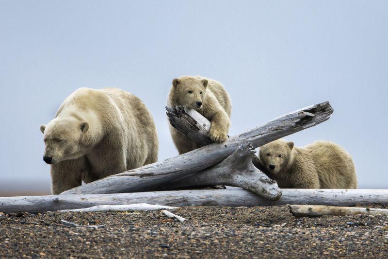Из-за отсутствия еды белые медведи поселились возле людей