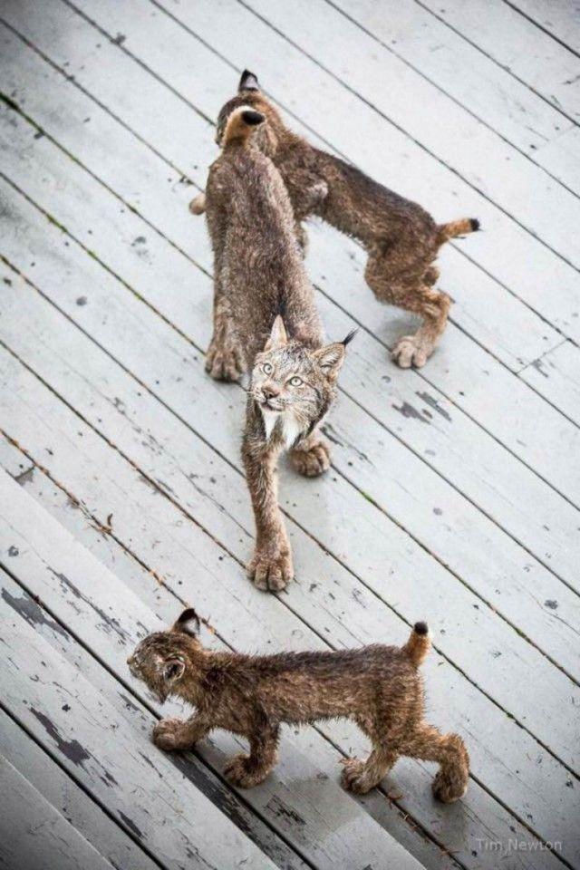 Семейство рысей заглянуло в гости к жителю Аляски