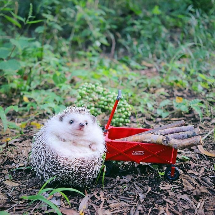 Крошечный ёжик из Японии любит турпоходы