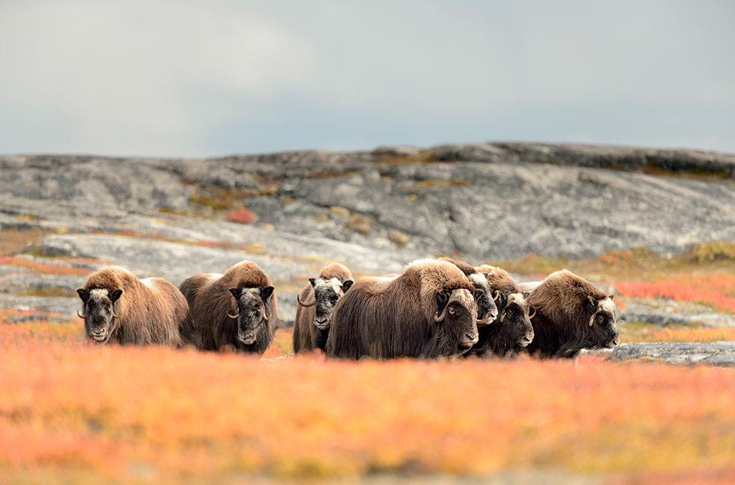 Животный мир Арктики и Приполярья