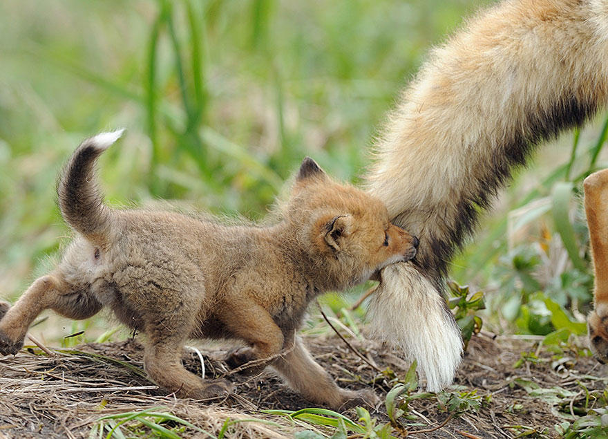 Фотоподборка очаровательных лисиц