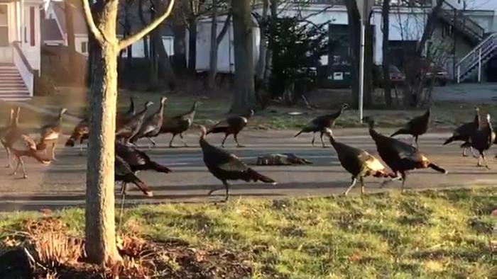Наглые индейки терроризируют Массачусетс