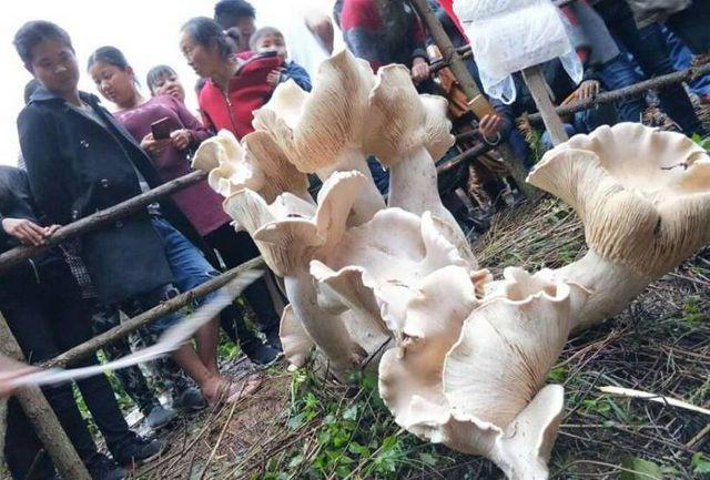 80-летний китаец нашел съедобного короля грибов
