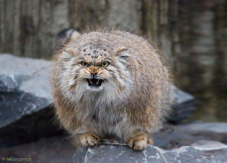 Манул — самый выразительный кот в мире