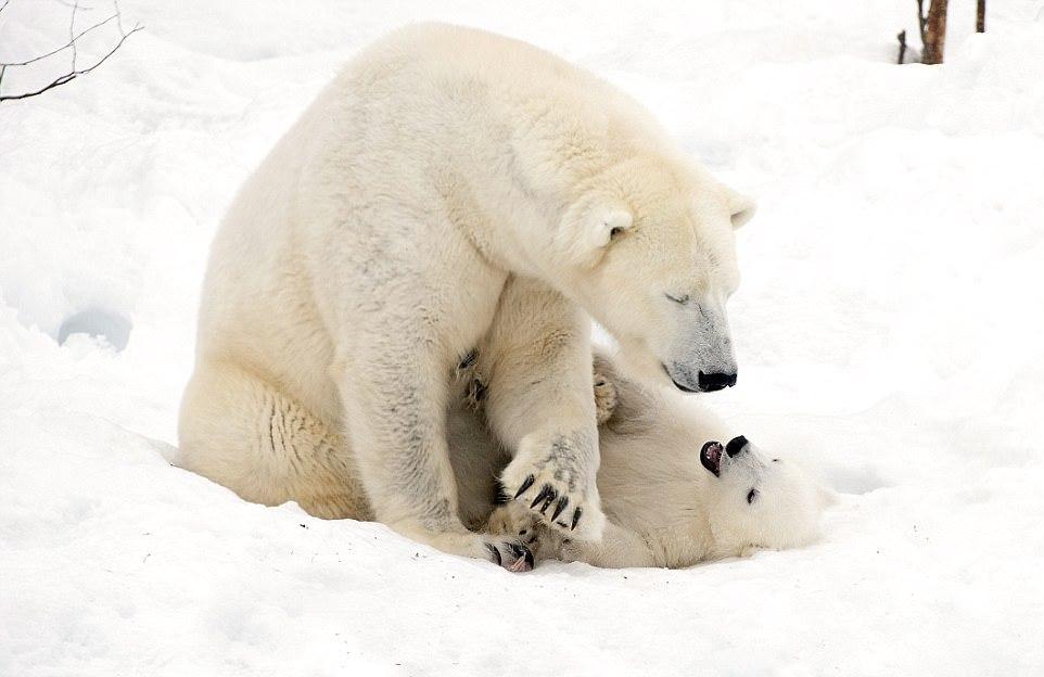Белый медвежонок с мамой-медведицей в финском парке