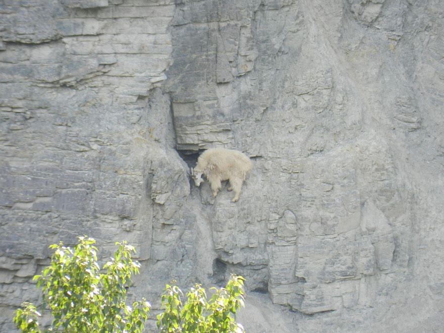 Горным козлам неведома боязнь высоты