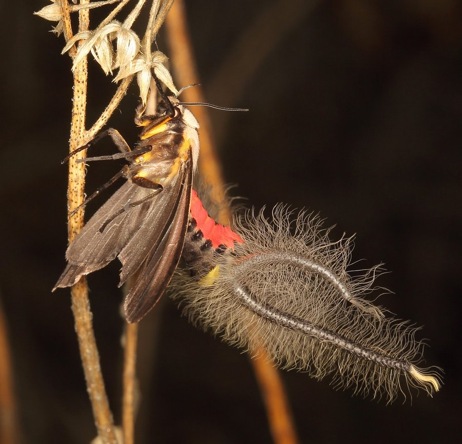 Мотылек с жуткими щупальцами