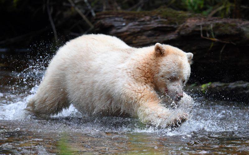 Фотографу посчастливилось сфотографировать медведя-призрака