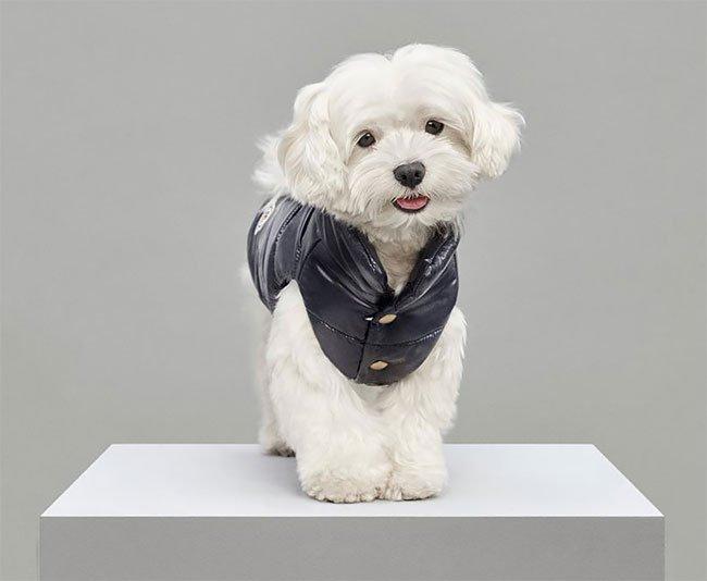 Итальянский бренд Moncler выпустил коллекцию курток для собак