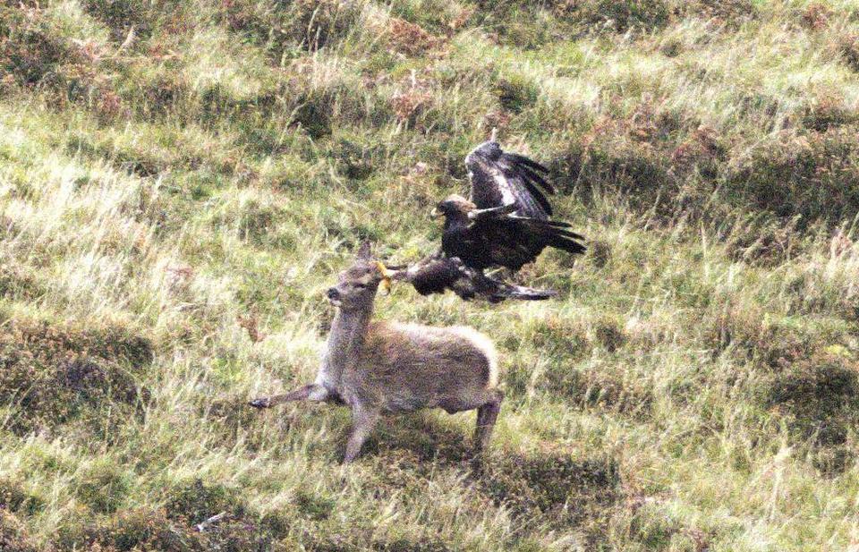 Редкие кадры охоты беркута на оленя