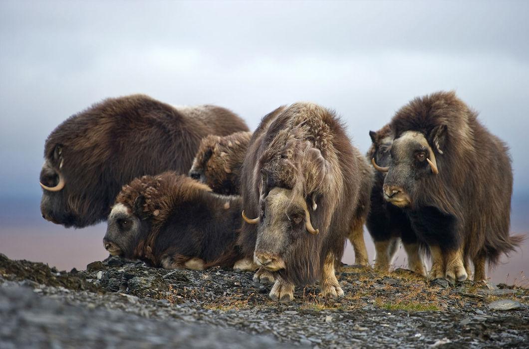 Разнообразие животных на острове Врангеля