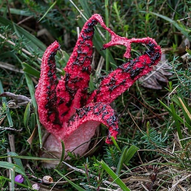 Пальцы дьявола: самый жуткий гриб в мире