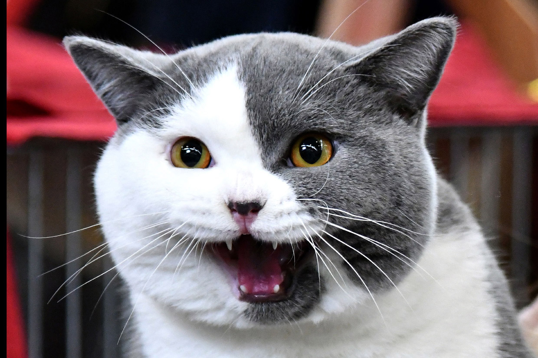 Международная кошачья выставка SuperCatShow 2017