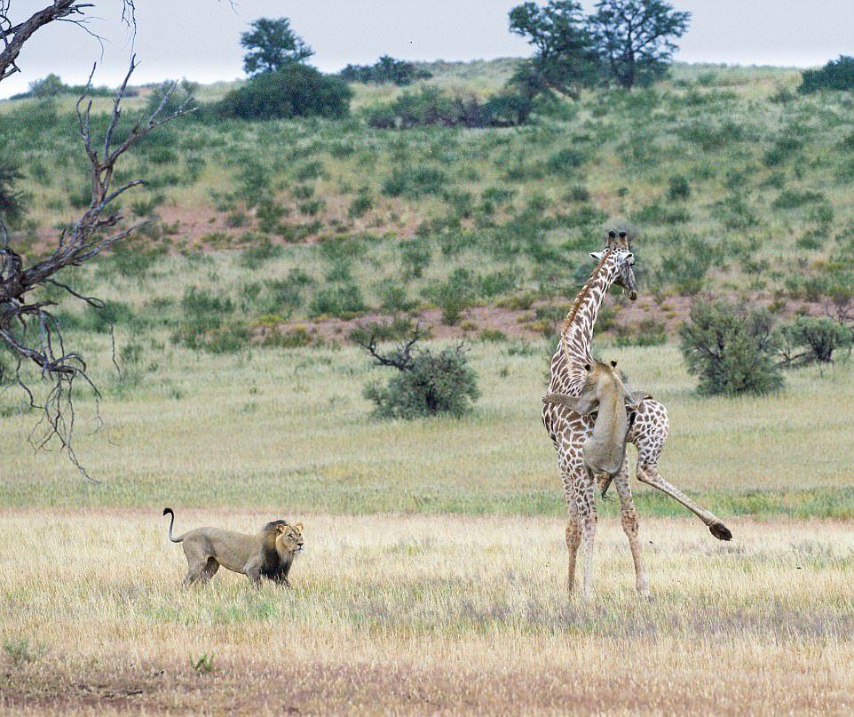 Два льва завалили жирафа