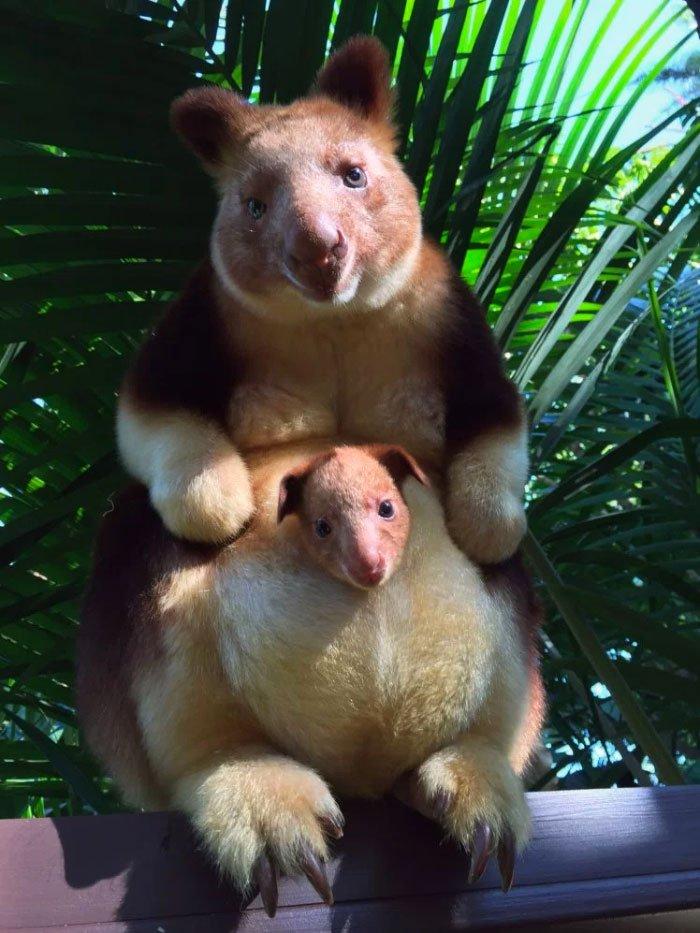 Очаровательные древесные кенгуру
