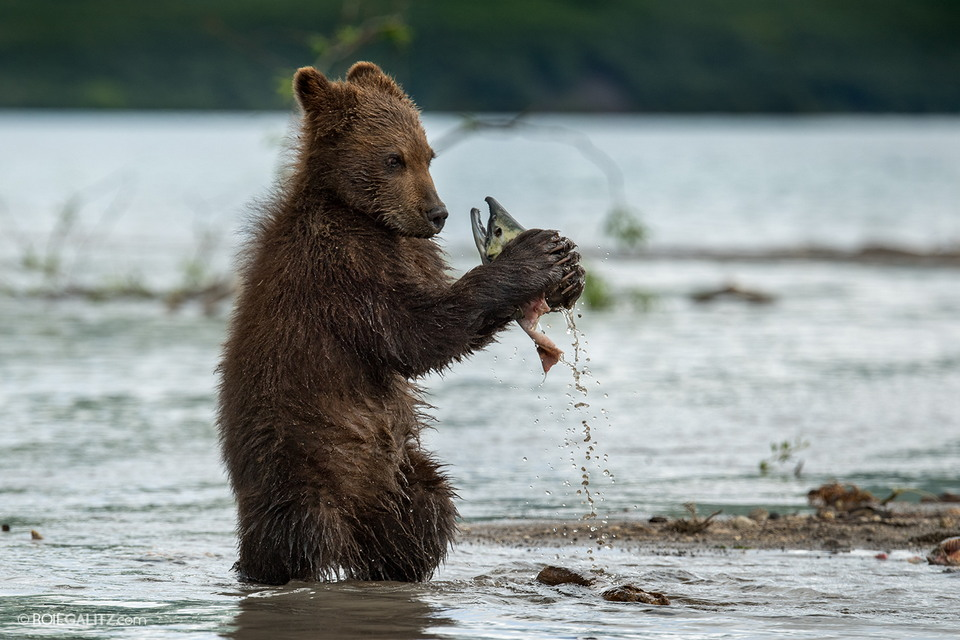 Мама-медведица учит медвежат ловить рыбу
