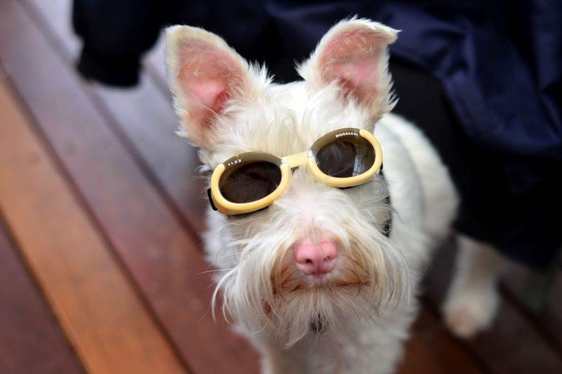Псу-альбиносу приходится носить солнцезащитные очки