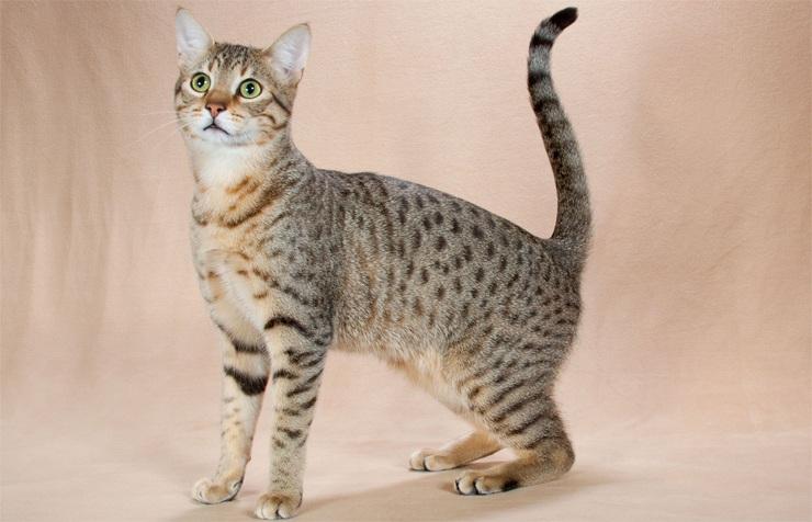 10 самых красивых пород кошек