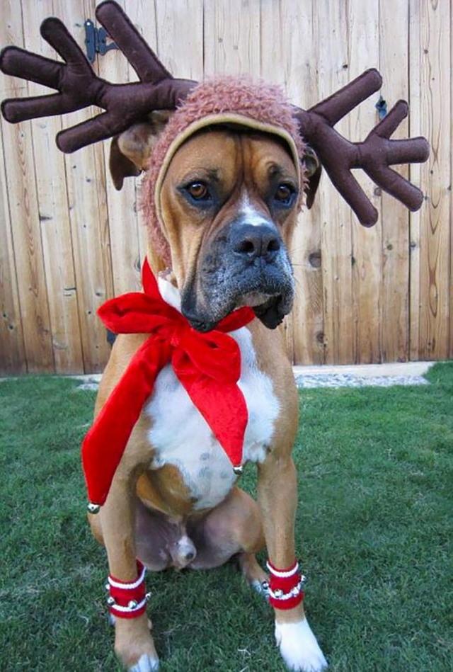 Недовольные животные в рождественских костюмах