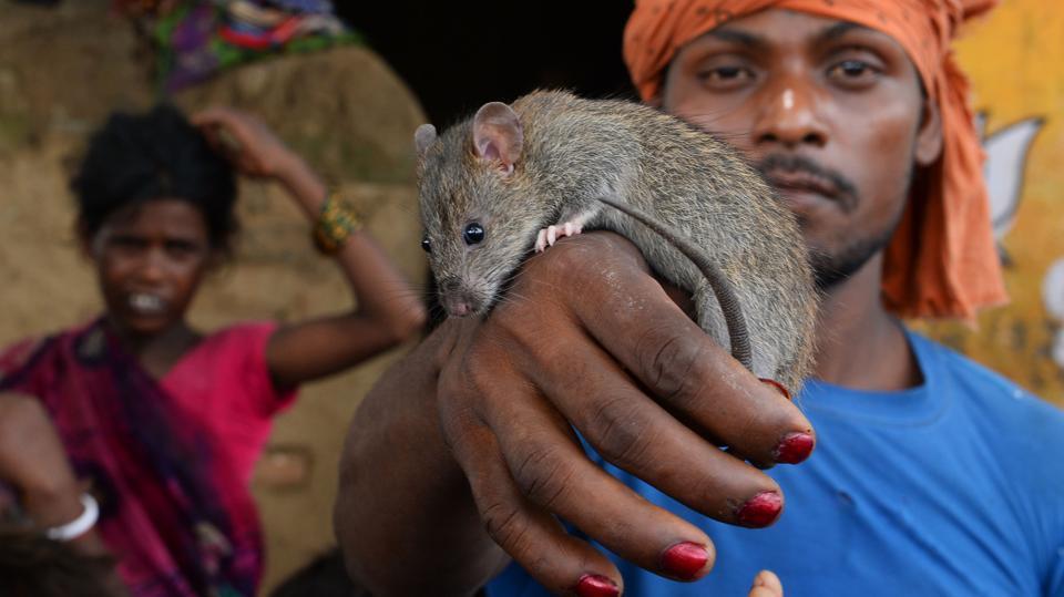 В беднейшем индийском штате Бихар выживают, питаясь крысами