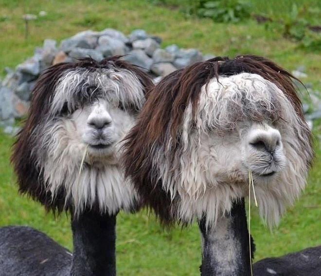 Стриженые альпаки поднимают настроение