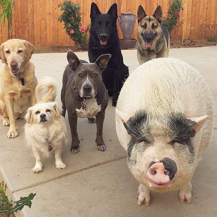 Домашняя свинья живёт в компании 5 собак