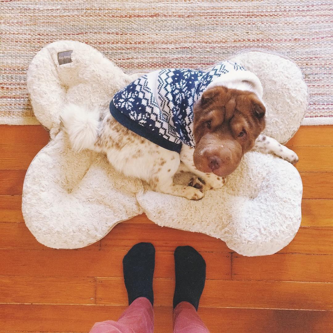 Миниатюрный шарпей похож на смесь собаки и медведя