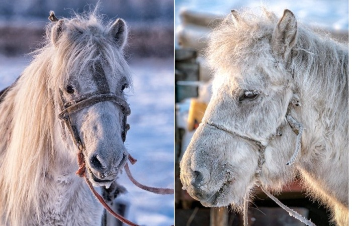 Якутские лошади выживают при экстремально низких температурах