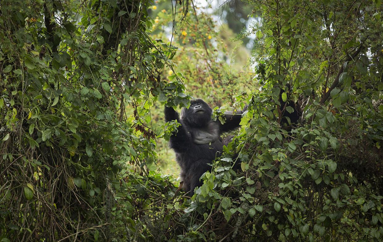 Большие и вымирающие горные гориллы