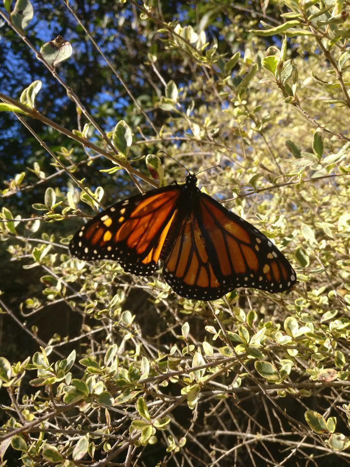 Спасение самца бабочки монарх