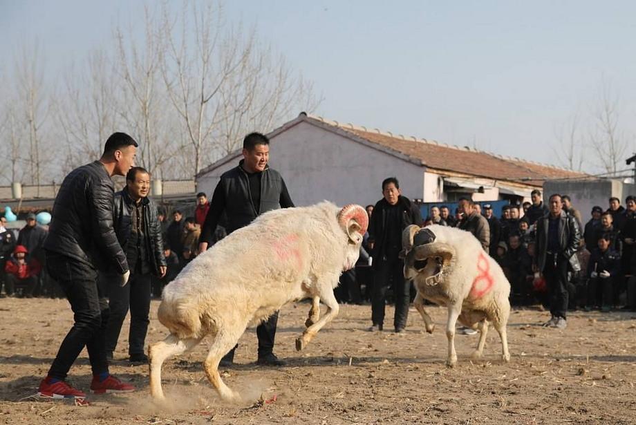 Турнир по боям баранов в Китае