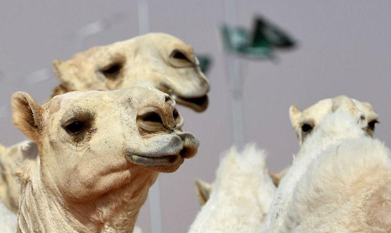 Верблюдов дисквалифицировали с конкурса красоты из-за ботокса