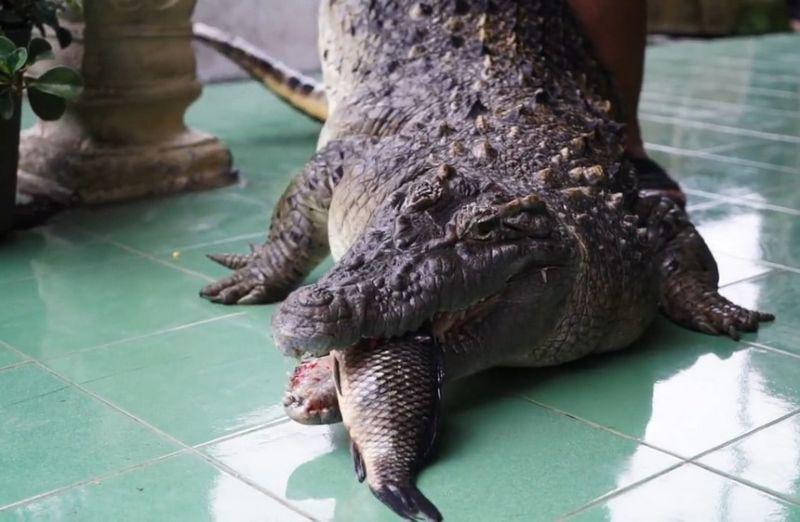 Семья 21 год живет со здоровенным крокодилом