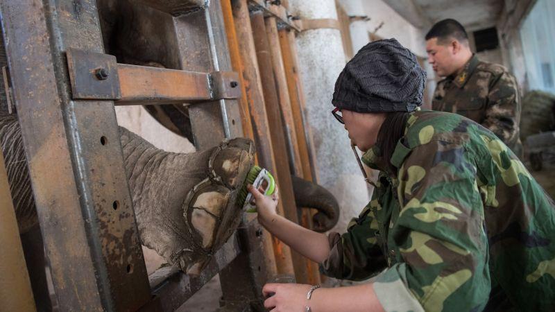 Незавидная работка - мастер педикюра для слона