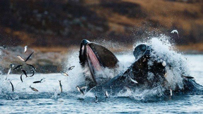 Потрясающие фотографии китов и косаток у побережья Норвегии