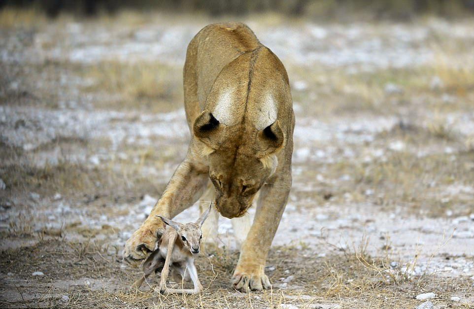 Львица заботится о маленькой антилопе