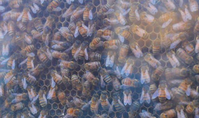 Пчелы вместо домашних любимцев