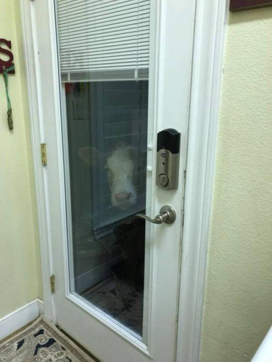 Спасенный теленок думает, что он пес