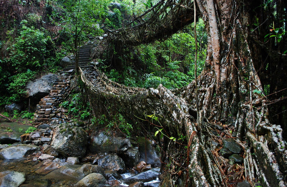 Живые мосты из корней деревьев в Индии
