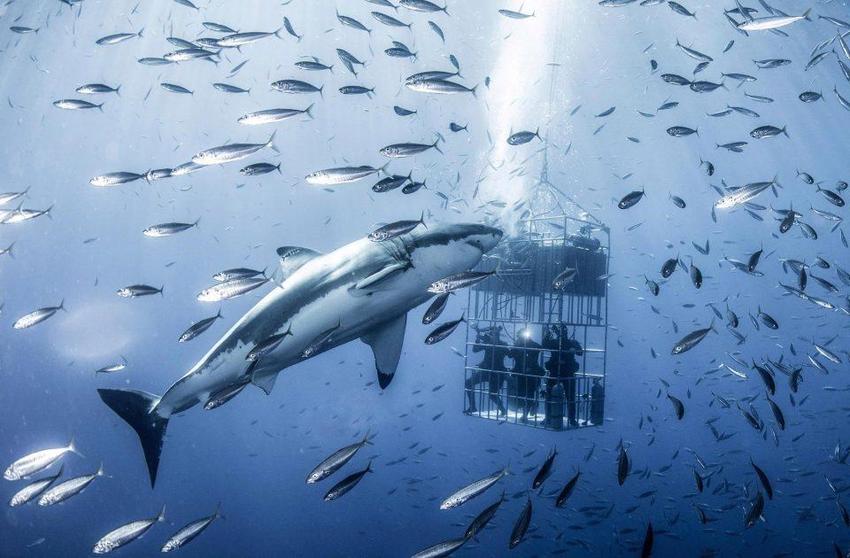 6-метровая белая акула в естественной среде обитания