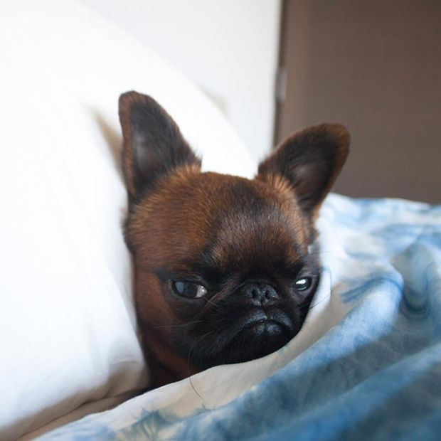 Недовольный пес Гизмо покорил интернет