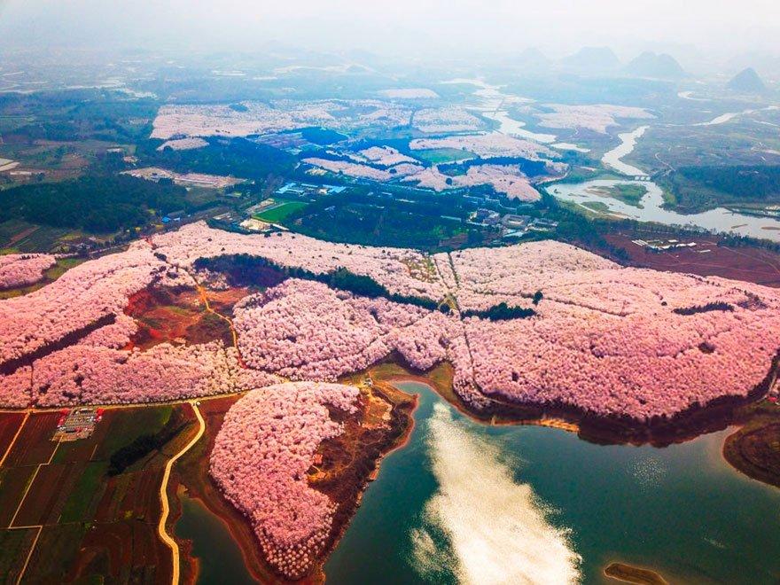 В Китае зацвела вишня