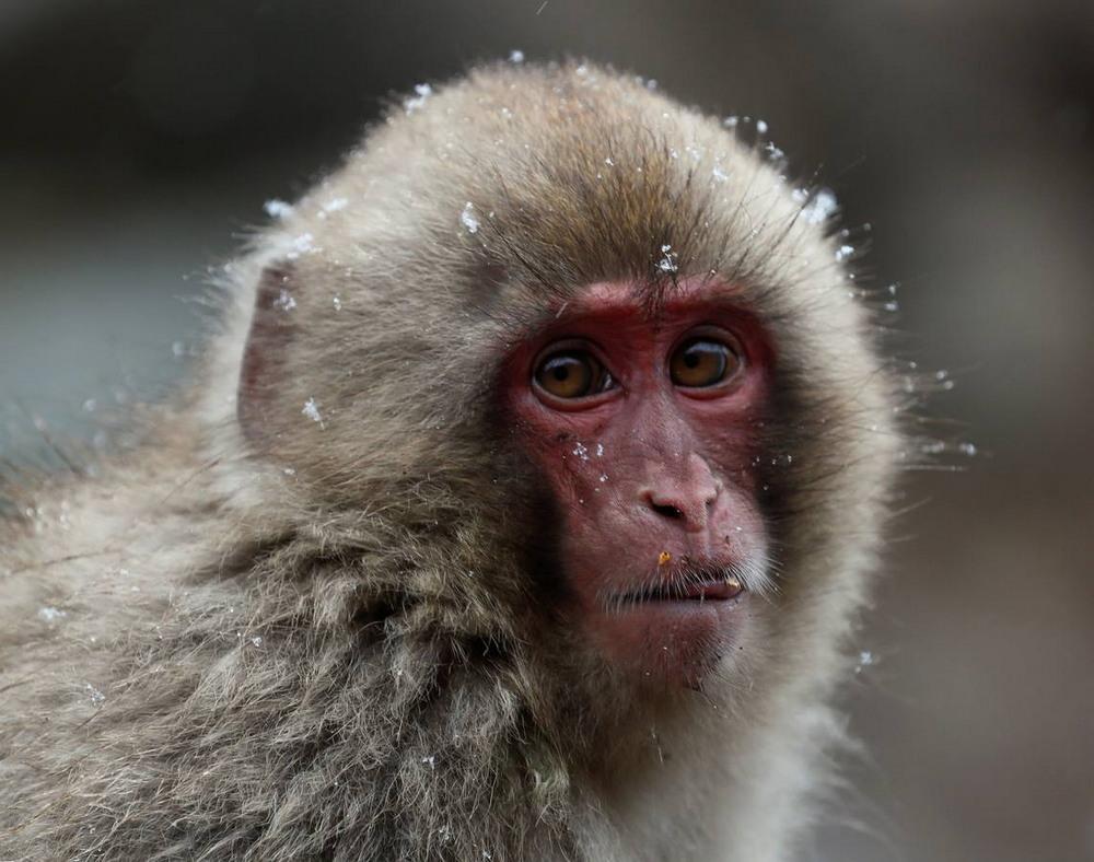 Японские снежные обезьяны балдеют в термальных источниках