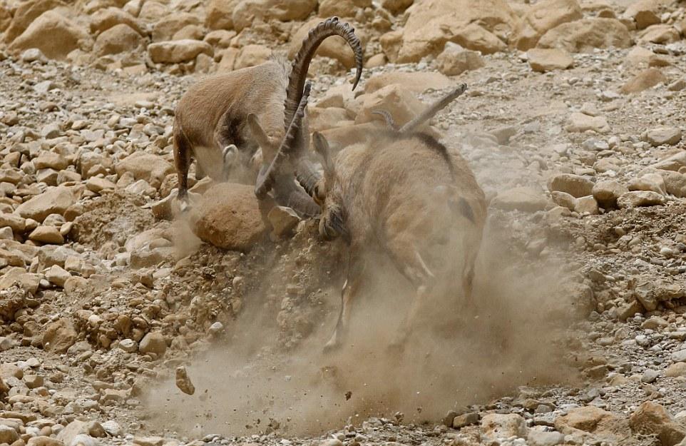 Схватка нубийских горных козлов за самку
