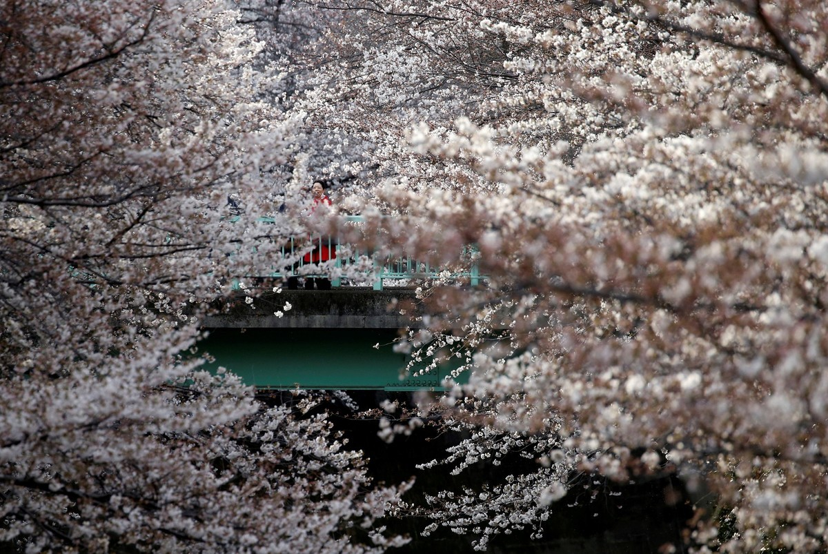 В Токио зацвела сакура